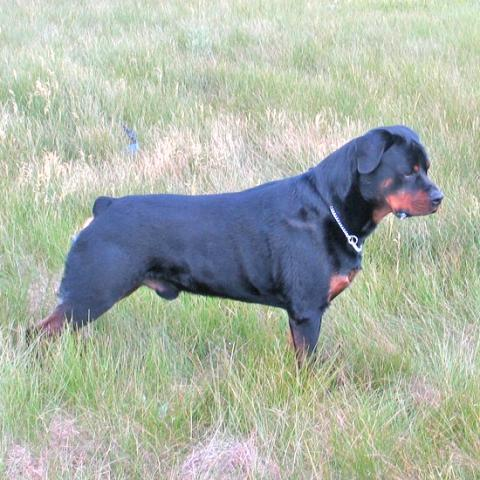Twin Creeks Rottweilers Rottweiler Nation